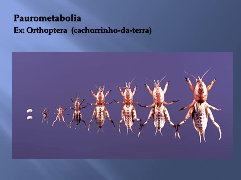 Paurometabolia Ex: Orthoptera (cachorrinho-da-terra)