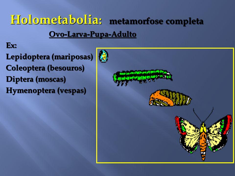Holometabolia : metamorfose completa Ovo-Larva-Pupa-Adulto Ovo-Larva-Pupa-AdultoEx: Lepidoptera (mariposas) Coleoptera (besouros) Diptera (moscas) Hymenoptera (vespas)