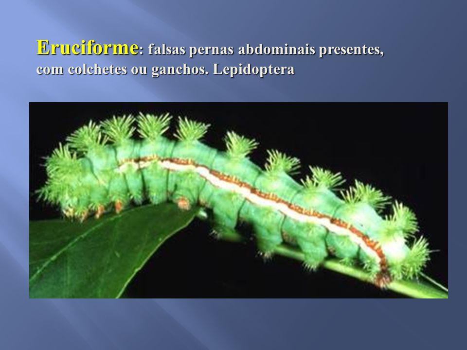 Eruciforme : falsas pernas abdominais presentes, com colchetes ou ganchos. Lepidoptera