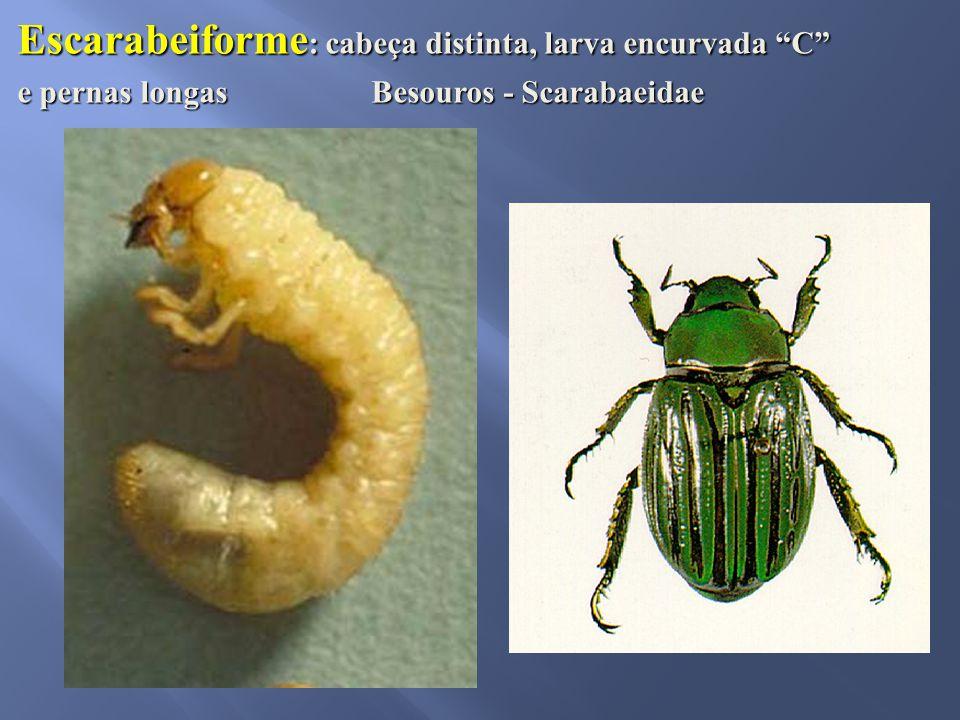 "Escarabeiforme : cabeça distinta, larva encurvada ""C"" e pernas longas Besouros - Scarabaeidae"
