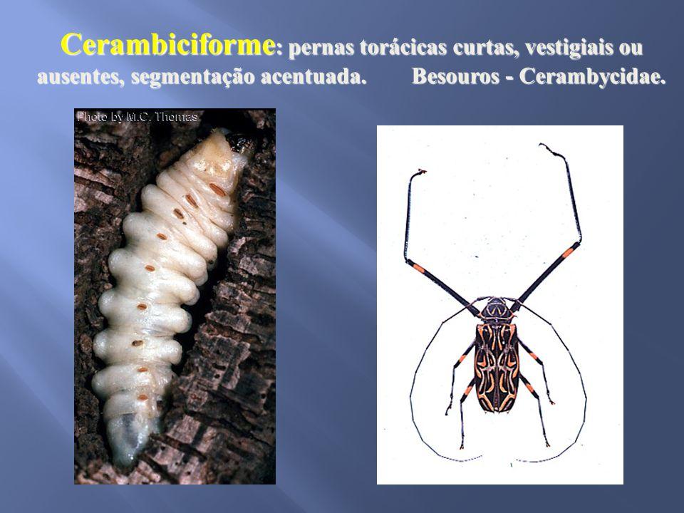 Cerambiciforme : pernas torácicas curtas, vestigiais ou ausentes, segmentação acentuada. Besouros - Cerambycidae.