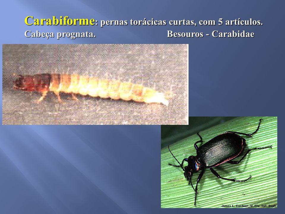Carabiforme : pernas torácicas curtas, com 5 artículos. Cabeça prognata. Besouros - Carabidae