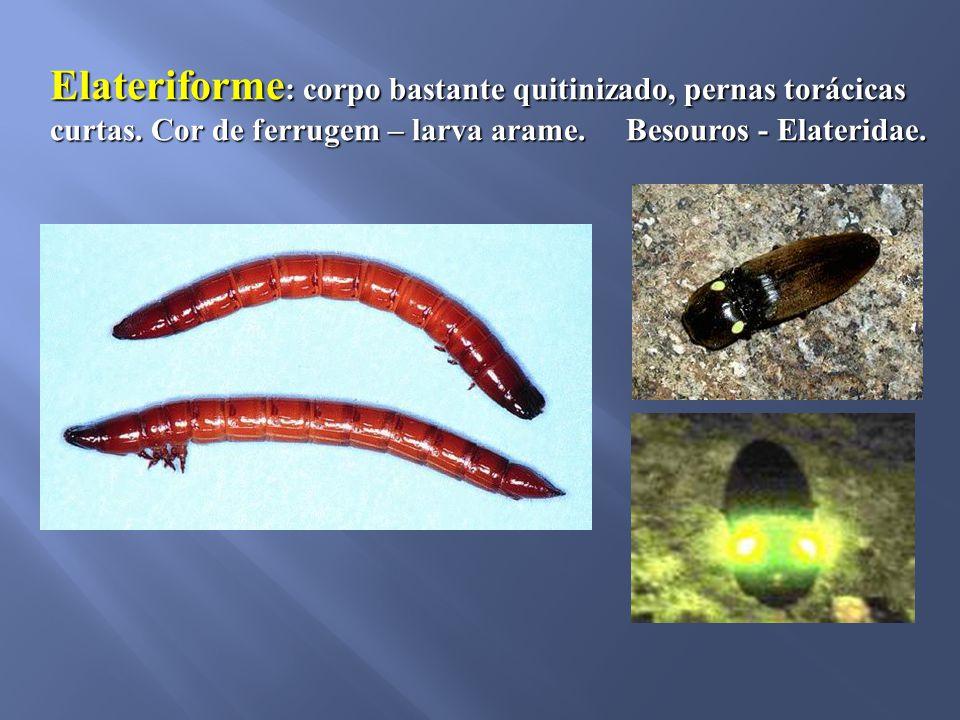 Elateriforme : corpo bastante quitinizado, pernas torácicas curtas. Cor de ferrugem – larva arame. Besouros - Elateridae.