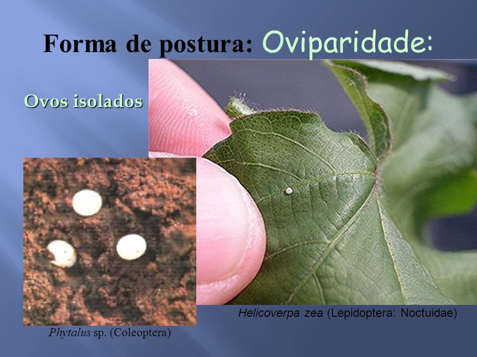 Ovos isolados Helicoverpa zea (Lepidoptera: Noctuidae) Phytalus sp.