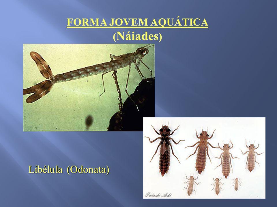 FORMA JOVEM AQUÁTICA ( Náiades ) Libélula (Odonata)
