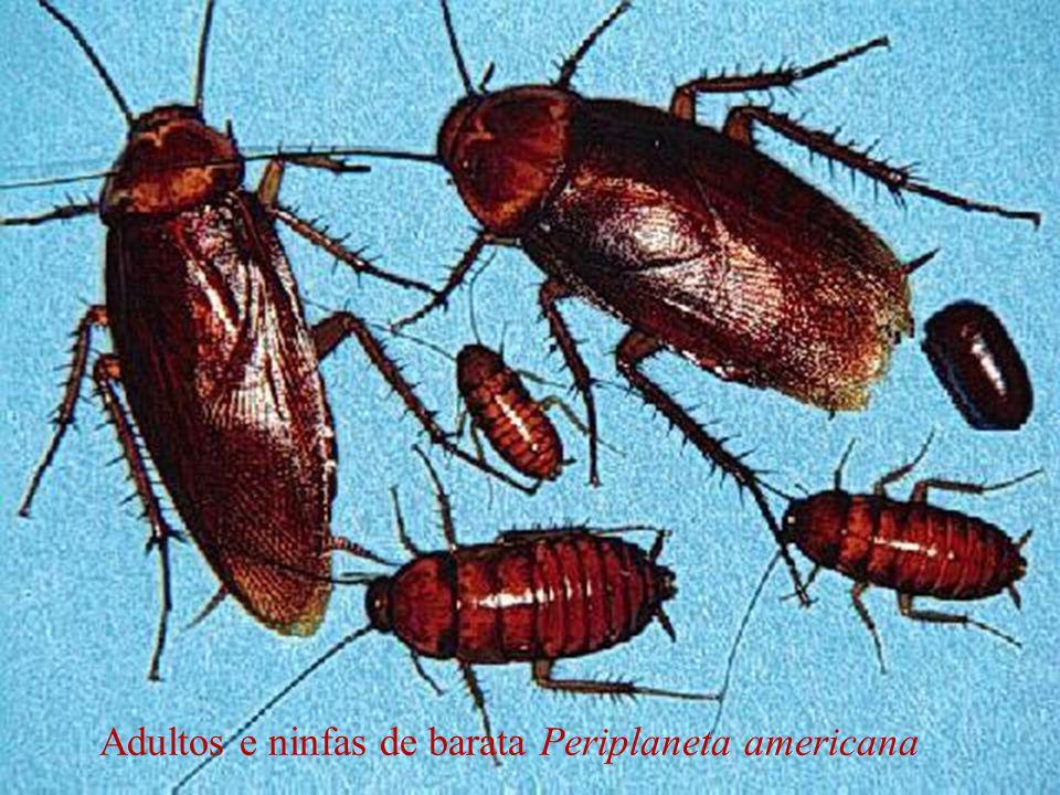 Adultos e ninfas de barata Periplaneta americana