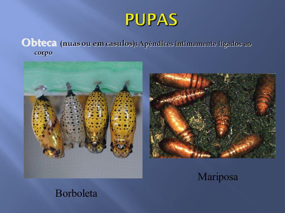 Obteca (nuas ou em casulos): Apêndices intimamente ligados ao corpo Borboleta Mariposa