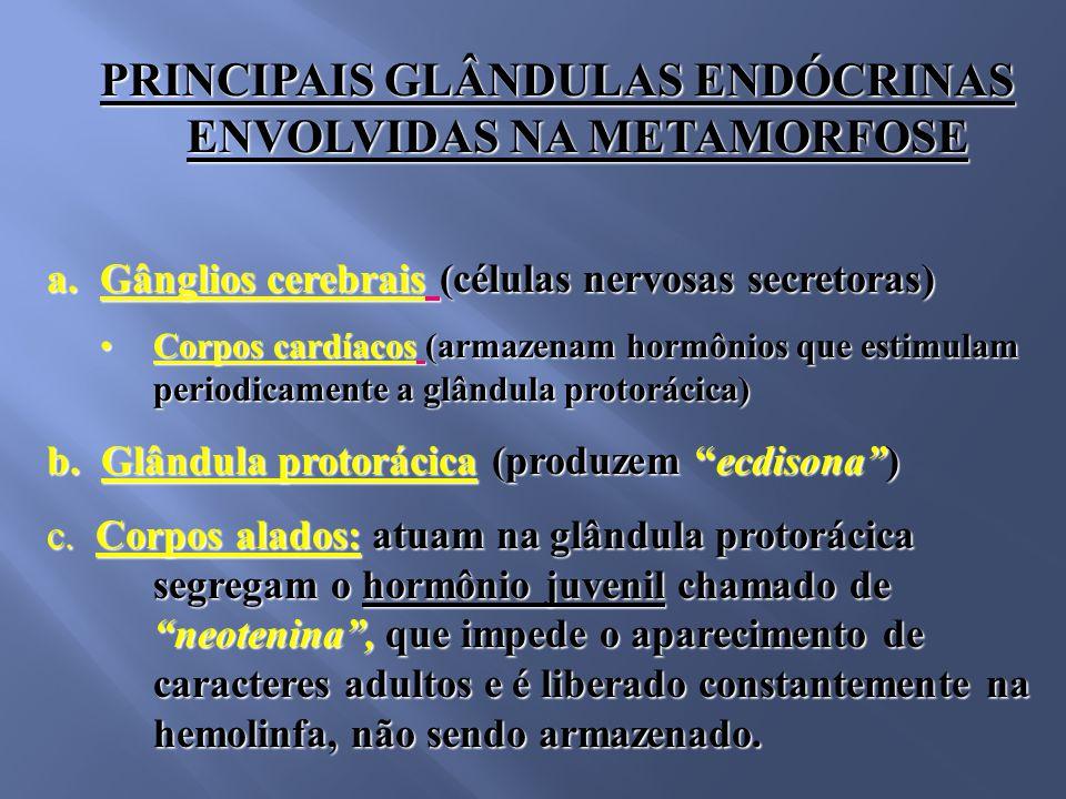 PRINCIPAIS GLÂNDULAS ENDÓCRINAS ENVOLVIDAS NA METAMORFOSE PRINCIPAIS GLÂNDULAS ENDÓCRINAS ENVOLVIDAS NA METAMORFOSE a.Gânglios cerebrais (células nervosas secretoras) Corpos cardíacos (armazenam hormônios que estimulam periodicamente a glândula protorácica)Corpos cardíacos (armazenam hormônios que estimulam periodicamente a glândula protorácica) b.