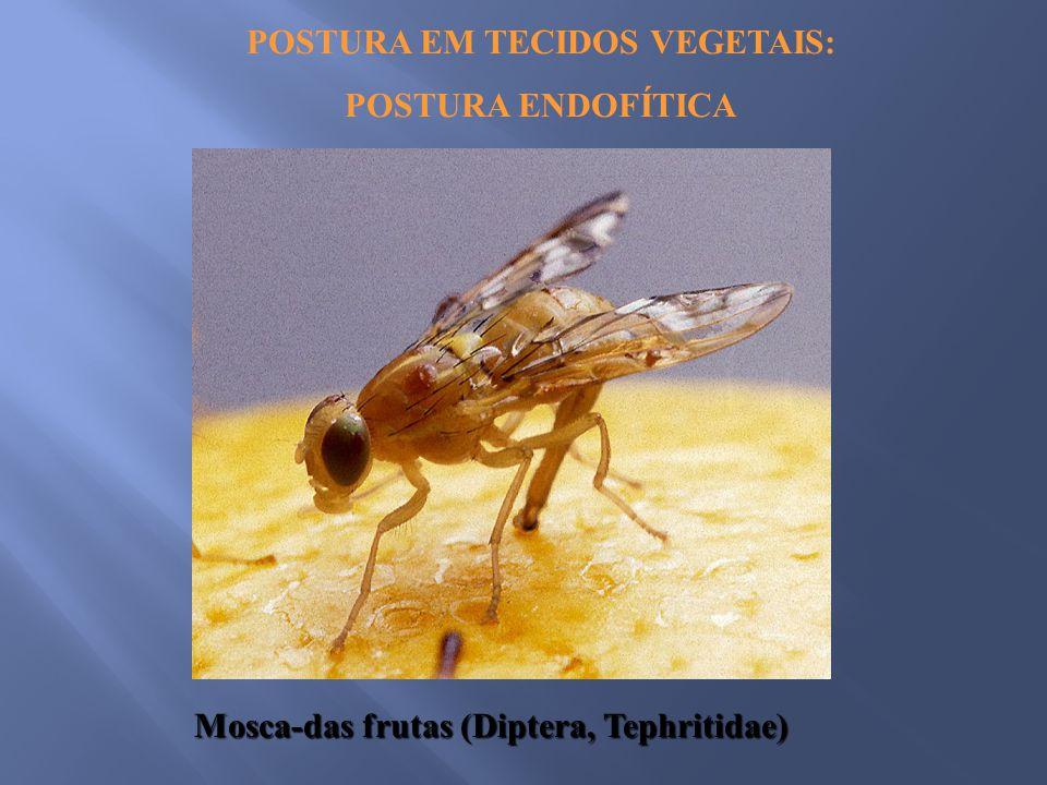 POSTURA EM TECIDOS VEGETAIS: POSTURA ENDOFÍTICA Mosca-das frutas (Diptera, Tephritidae)