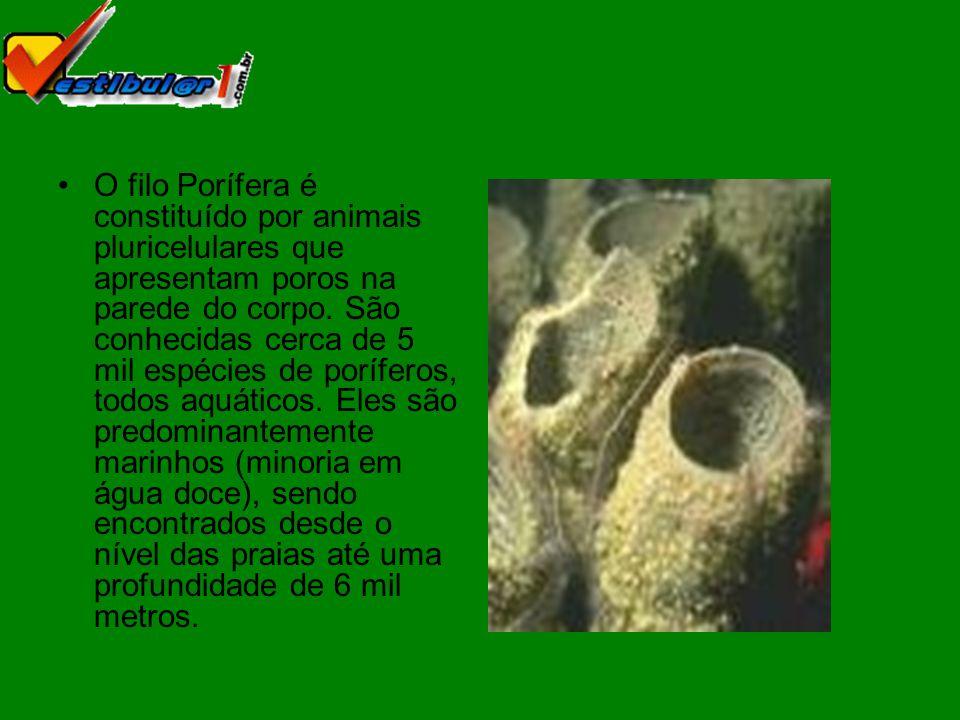 Os poríferos são animais sésseis, fixando- se sobre rochas, conchas, etc.