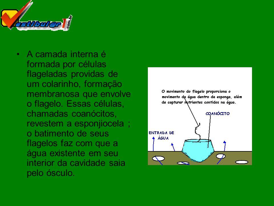 Entre as camadas internas e externas há uma mesênquima gelatinosa, nas quais se encontram células e espículas.
