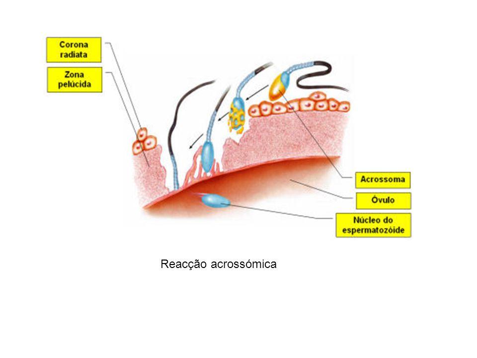 Reacção acrossómica