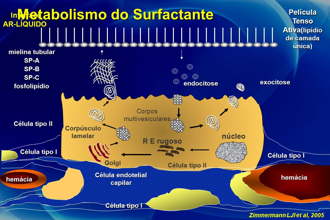 Metabolismo do Surfactante Célula tipo I Célula tipo II núcleo Corpúsculo lamelar Golgi Corpos multivesiculares exocitose Película Tenso Ativa( lipídi
