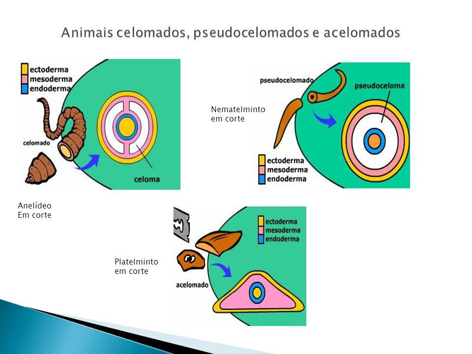 Animais celomados, pseudocelomados e acelomados Anelídeo Em corte Nematelminto em corte Platelminto em corte