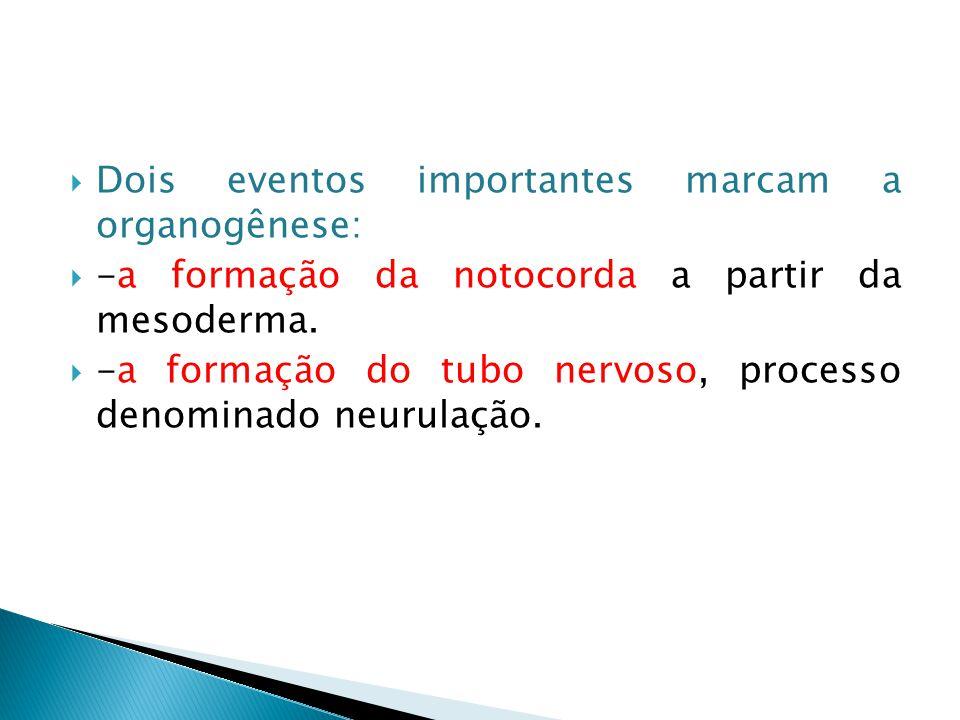  Dois eventos importantes marcam a organogênese:  -a formação da notocorda a partir da mesoderma.  -a formação do tubo nervoso, processo denominado