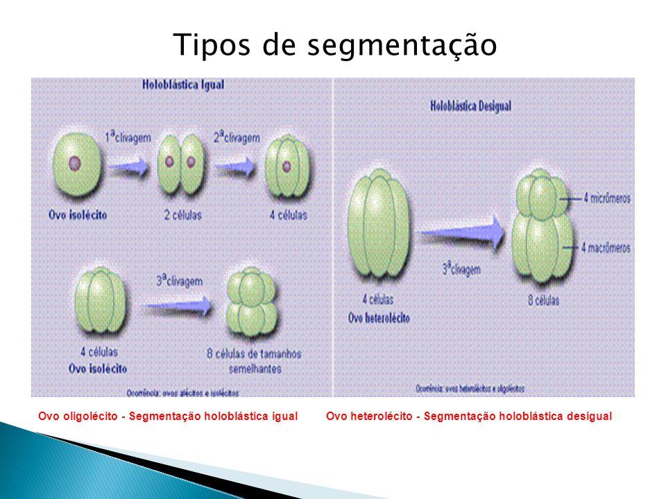 Ovo oligolécito - Segmentação holoblástica igual Ovo heterolécito - Segmentação holoblástica desigual Tipos de segmentação