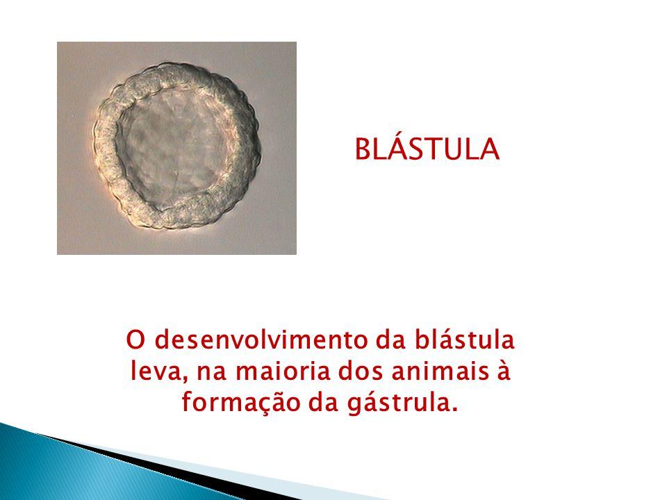 BLÁSTULA O desenvolvimento da blástula leva, na maioria dos animais à formação da gástrula.