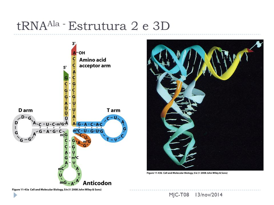 tRNA Ala - Estrutura 2 e 3D 13/nov/2014MJC-T08