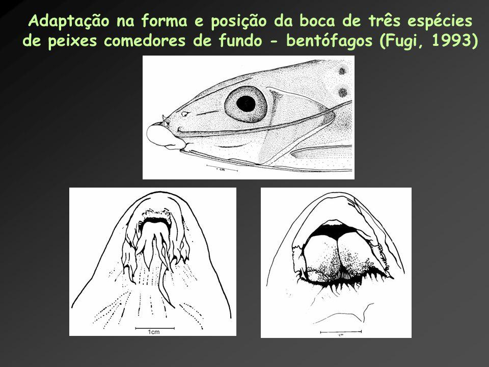 Adaptação na forma e posição da boca de três espécies de peixes comedores de fundo - bentófagos (Fugi, 1993)