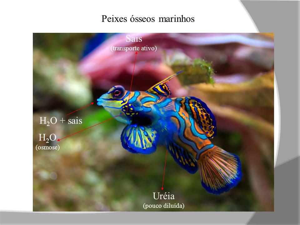 H 2 O + sais Uréia (pouco diluída) Sais (transporte ativo) H 2 O (osmose) Peixes ósseos marinhos