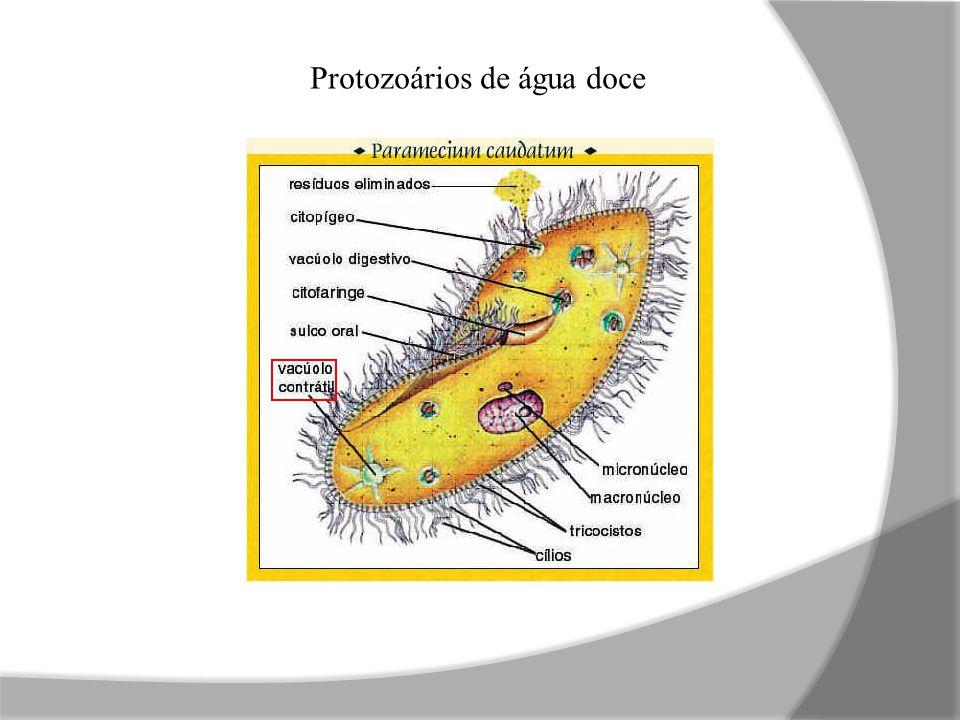 H 2 O (osmose) NH 3 (muito diluída) Sais (tranporte ativo) Peixes ósseos dulcícolas