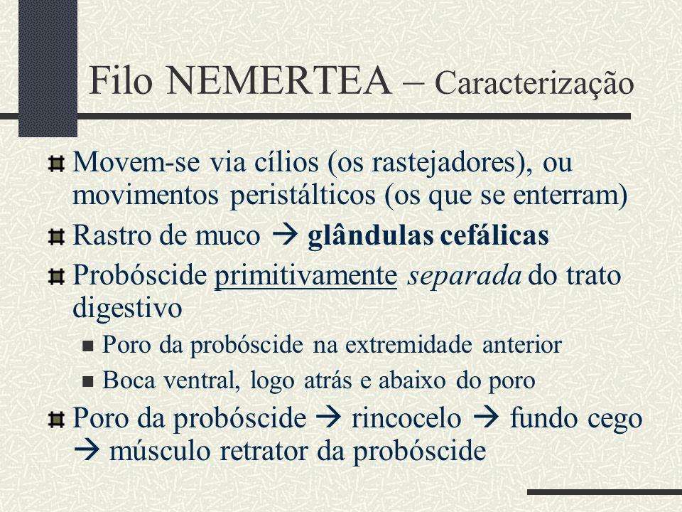 Filo NEMERTEA – Caracterização Movem-se via cílios (os rastejadores), ou movimentos peristálticos (os que se enterram) Rastro de muco  glândulas cefá