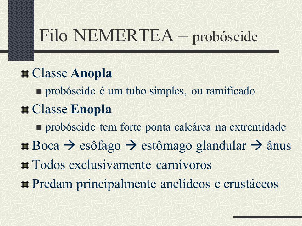 Filo NEMERTEA – probóscide Classe Anopla probóscide é um tubo simples, ou ramificado Classe Enopla probóscide tem forte ponta calcárea na extremidade