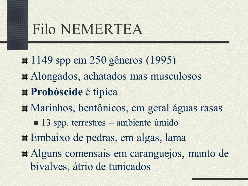 Filo NEMERTEA 1149 spp em 250 gêneros (1995) Alongados, achatados mas musculosos Probóscide é típica Marinhos, bentônicos, em geral águas rasas 13 spp