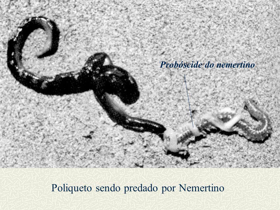 Poliqueto sendo predado por Nemertino Probóscide do nemertino