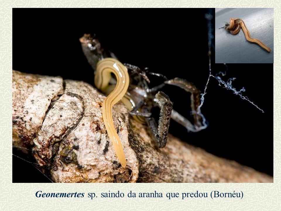 Geonemertes sp. saindo da aranha que predou (Bornéu)