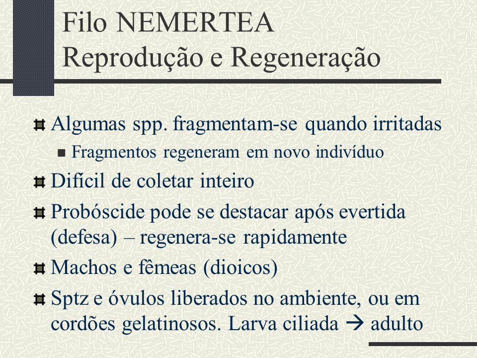 Filo NEMERTEA Reprodução e Regeneração Algumas spp. fragmentam-se quando irritadas Fragmentos regeneram em novo indivíduo Difícil de coletar inteiro P