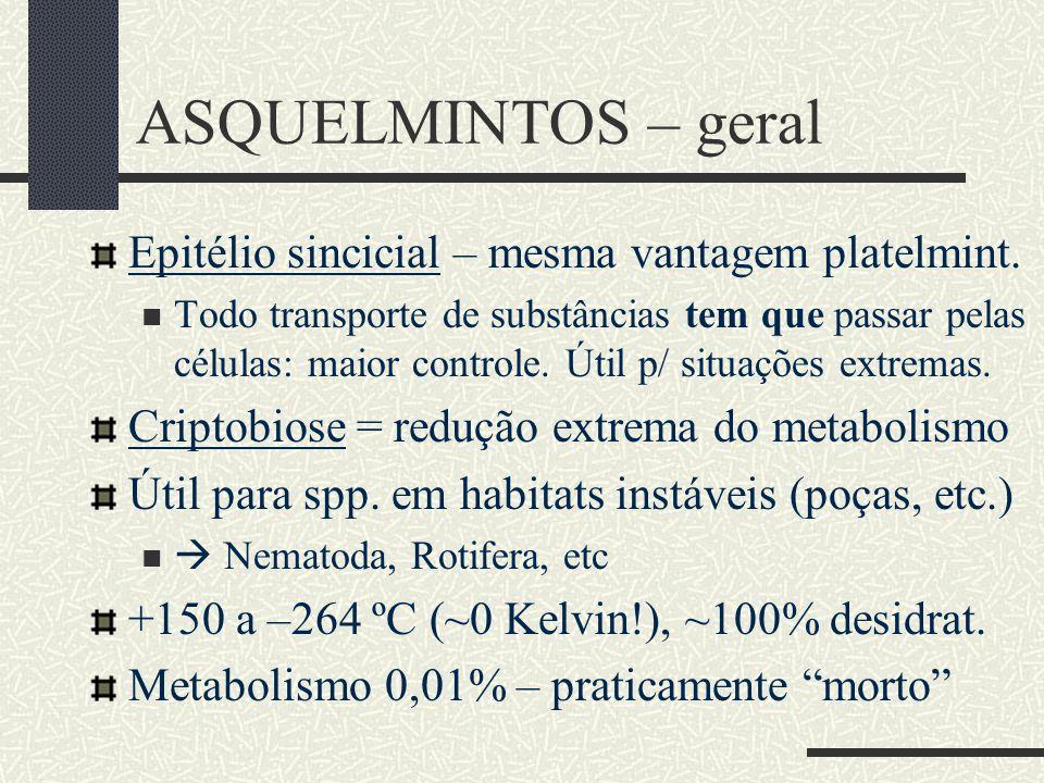 ASQUELMINTOS – geral Epitélio sincicial – mesma vantagem platelmint. Todo transporte de substâncias tem que passar pelas células: maior controle. Útil
