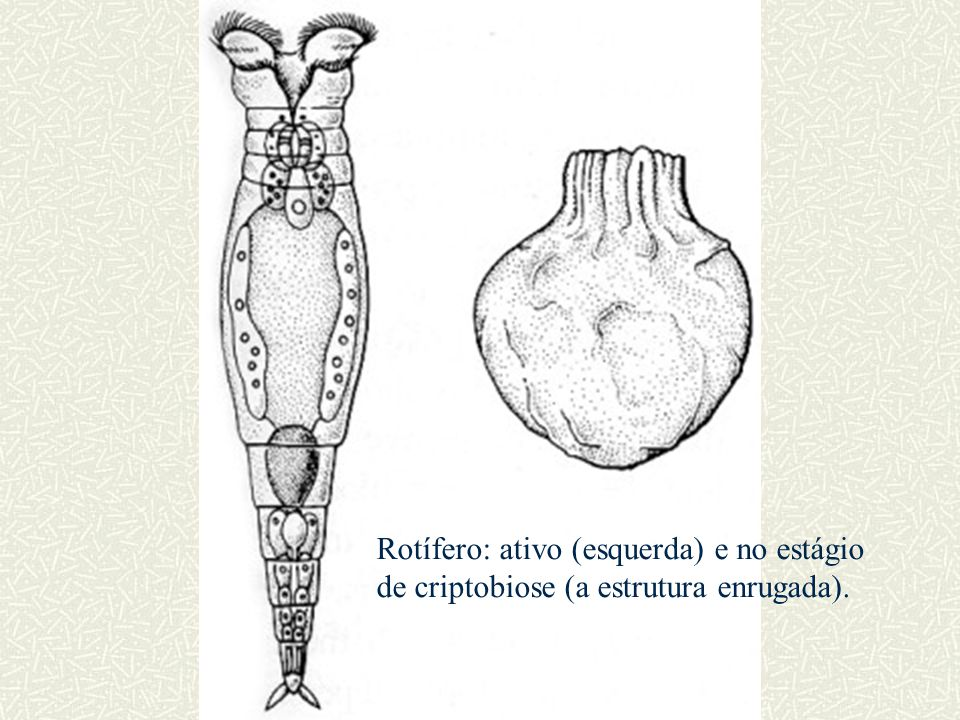Rotífero: ativo (esquerda) e no estágio de criptobiose (a estrutura enrugada).