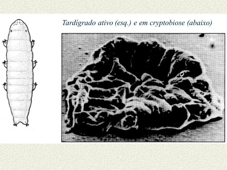 Tardígrado ativo (esq.) e em cryptobiose (abaixo)