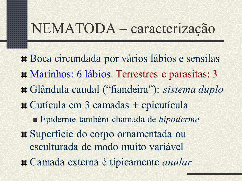 """NEMATODA – caracterização Boca circundada por vários lábios e sensilas Marinhos: 6 lábios. Terrestres e parasitas: 3 Glândula caudal (""""fiandeira""""): si"""
