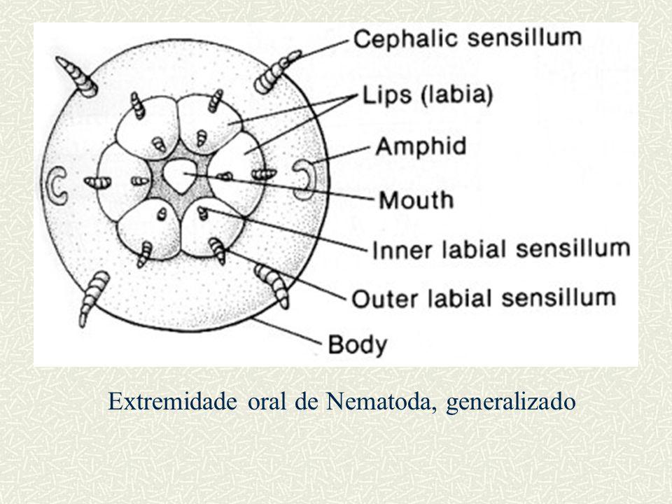 Extremidade oral de Nematoda, generalizado