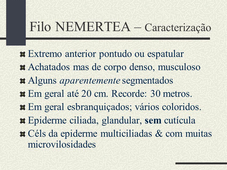 Filo NEMERTEA – Caracterização Extremo anterior pontudo ou espatular Achatados mas de corpo denso, musculoso Alguns aparentemente segmentados Em geral