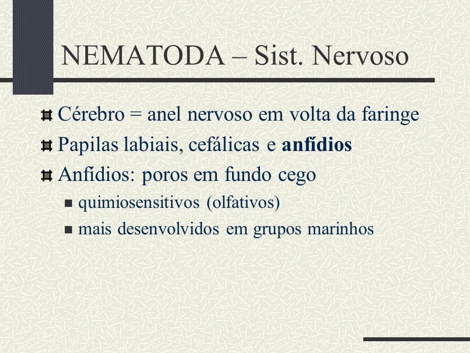 NEMATODA – Sist. Nervoso Cérebro = anel nervoso em volta da faringe Papilas labiais, cefálicas e anfídios Anfídios: poros em fundo cego quimiosensitiv