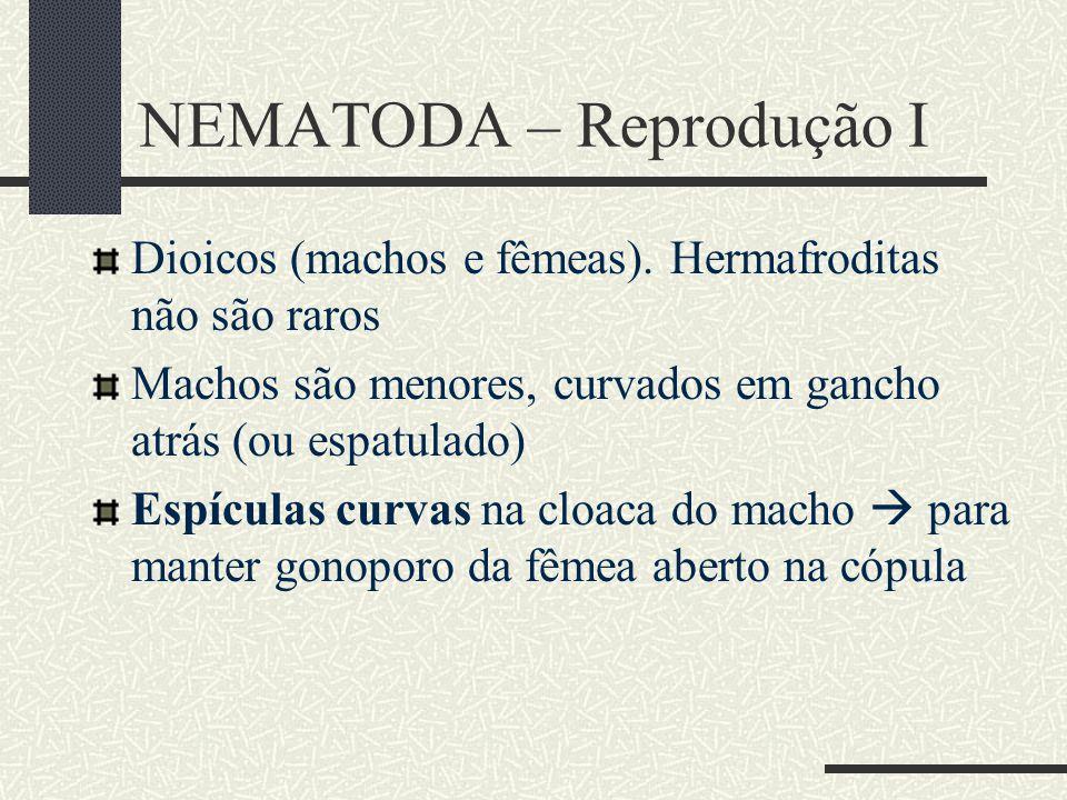 NEMATODA – Reprodução I Dioicos (machos e fêmeas). Hermafroditas não são raros Machos são menores, curvados em gancho atrás (ou espatulado) Espículas