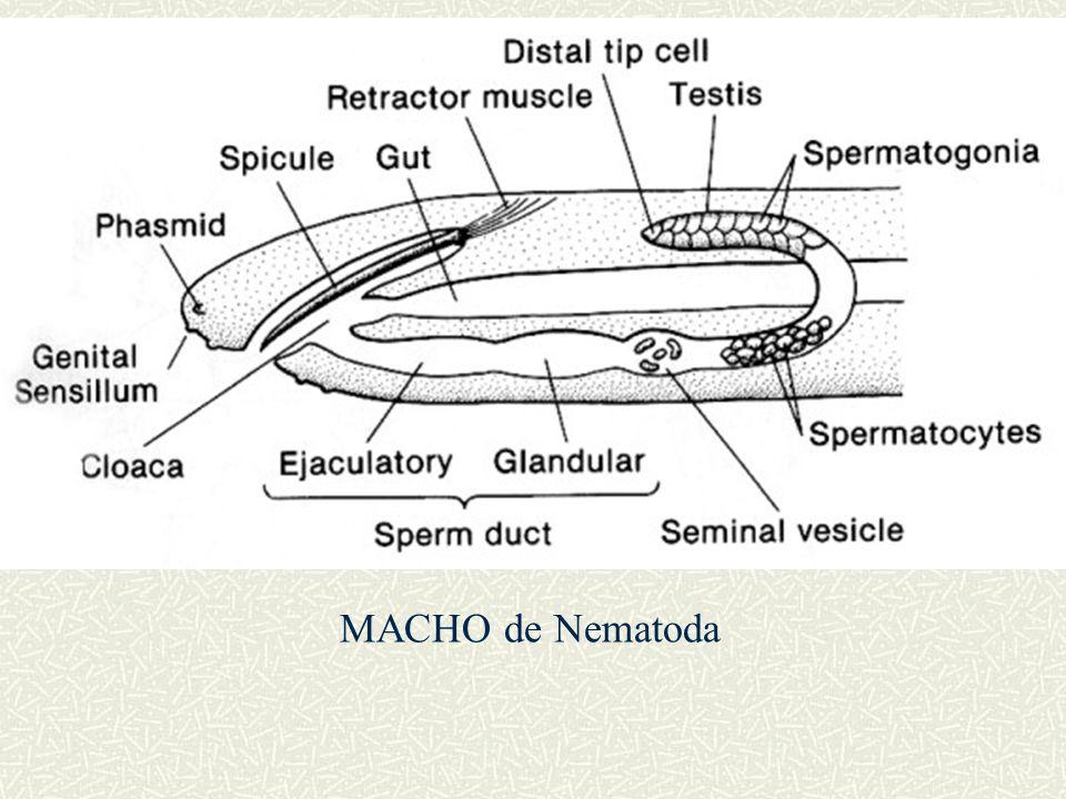 MACHO de Nematoda