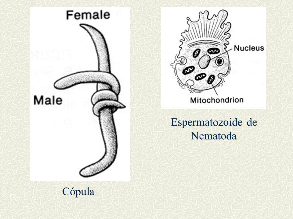 Espermatozoide de Nematoda Cópula