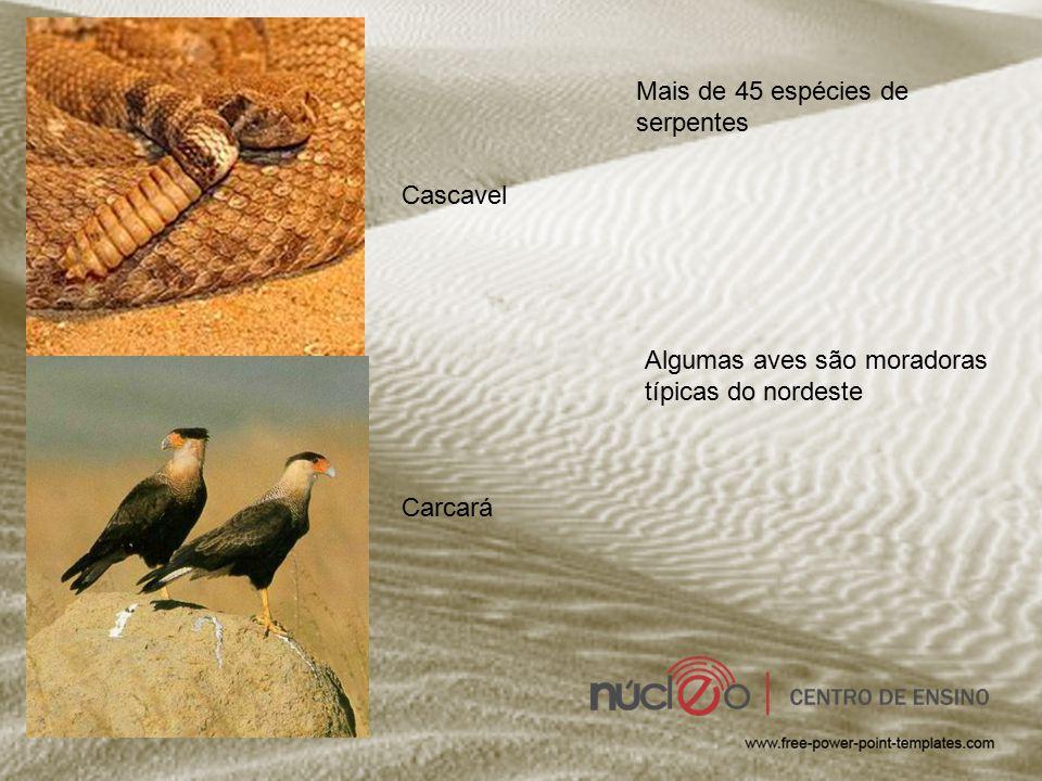 Cascavel Mais de 45 espécies de serpentes Carcará Algumas aves são moradoras típicas do nordeste