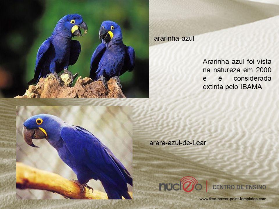 ararinha azul Ararinha azul foi vista na natureza em 2000 e é considerada extinta pelo IBAMA arara-azul-de-Lear