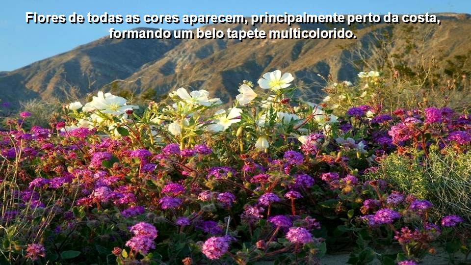 Flores de todas as cores aparecem, principalmente perto da costa, formando um belo tapete multicolorido.