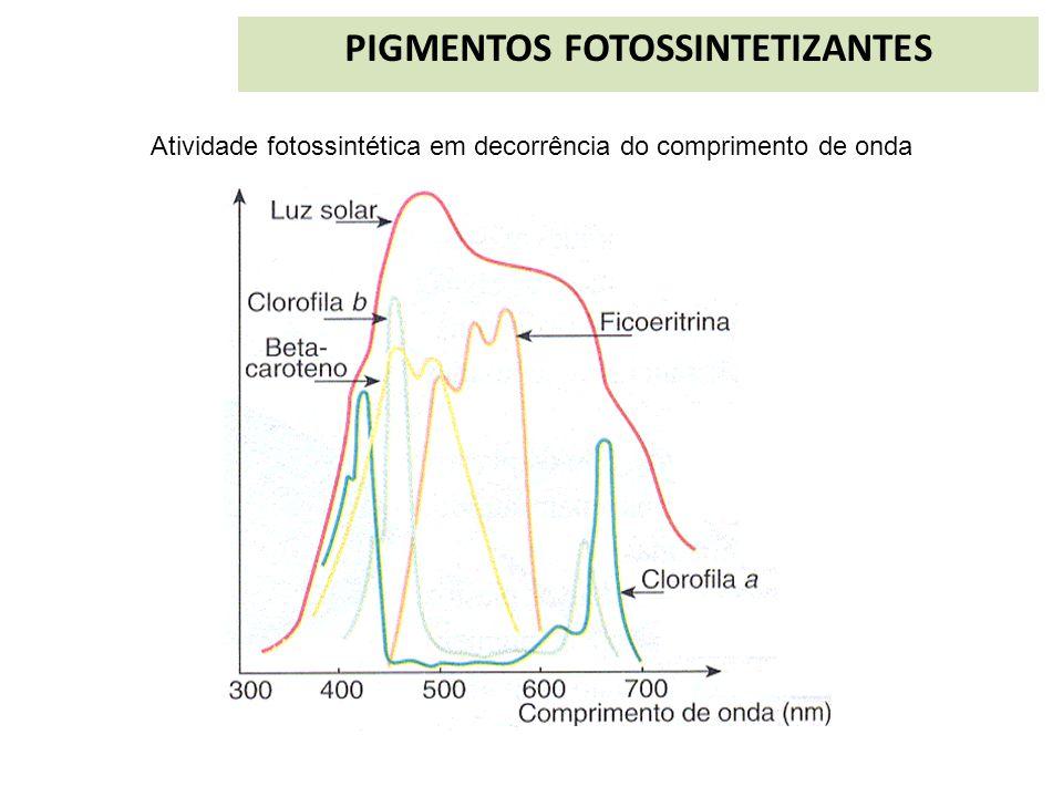PIGMENTOS FOTOSSINTETIZANTES Atividade fotossintética em decorrência do comprimento de onda