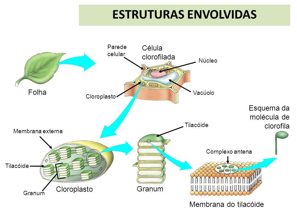 Célula clorofilada Membrana do tilacóide Esquema da molécula de clorofila Folha Granum Parede celular Cloroplasto Membrana externa Tilacóide Granum Nú