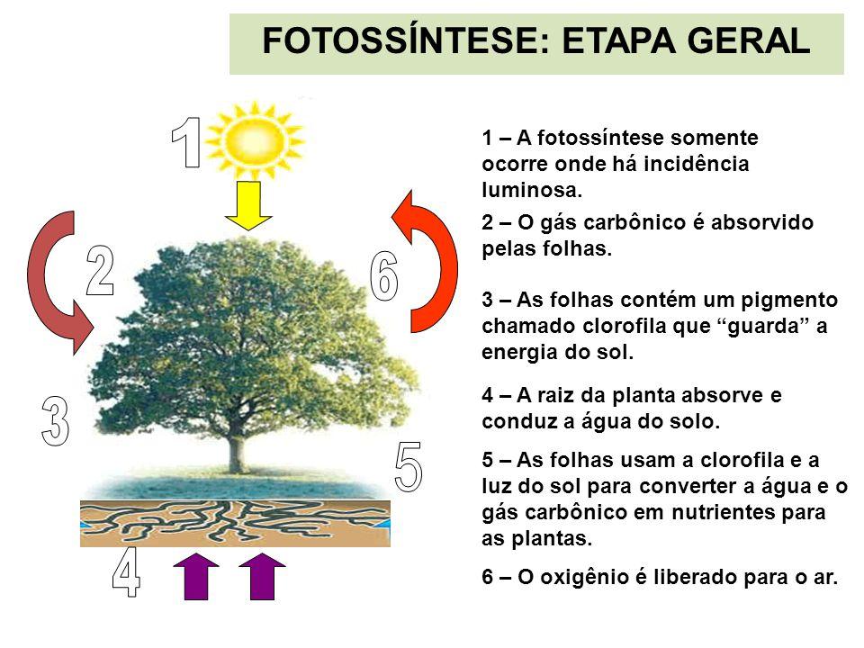 1 – A fotossíntese somente ocorre onde há incidência luminosa. 2 – O gás carbônico é absorvido pelas folhas. 3 – As folhas contém um pigmento chamado
