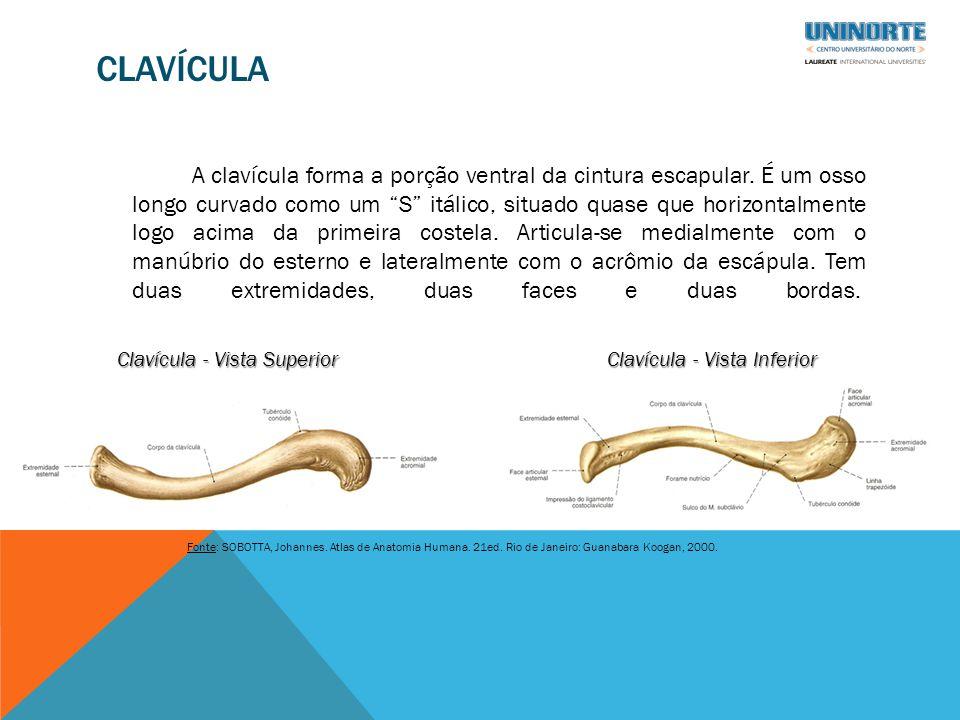 CLAVÍCULA A clavícula forma a porção ventral da cintura escapular.