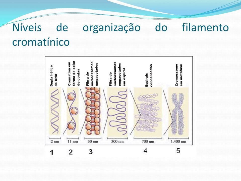 Modelos de Arquitectura Cromossómica Baseados em um ou ambos os pressupostos, de acordo com base na organização da cromatina: 1) Se tem uma disposição sucessivas de fibras em ansas radiais 2) Se tem um enrolamento progressivo da fibra Temos 4 modelos: Modelo radical Modelo helicoidal Modelo misto Modelo de Saitoh e Laemonli