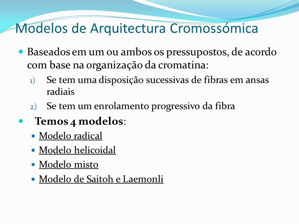 Modelos de Arquitetura Cromossómica Modelo radical A cromatina organiza-se em ansa radiais, que se estende do eixo até à periferia; Estabilizado pela tropoisomerase.